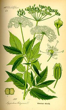 Bishop's Weed Illustration