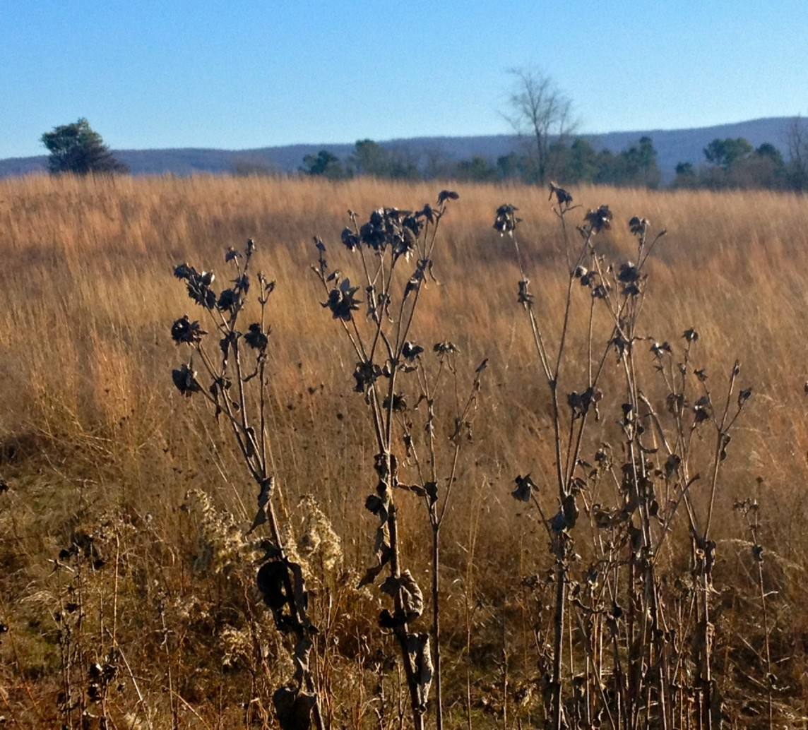 Wild Seedheads Against Grasses
