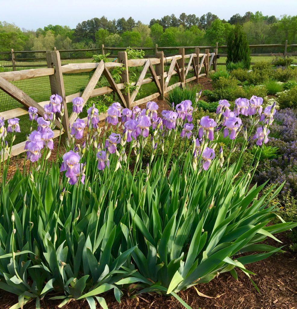 Iris Spring 2017 1