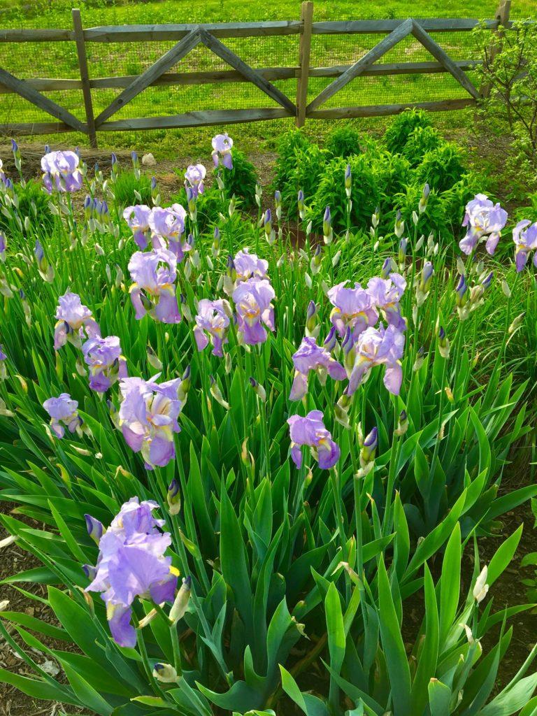 Iris Spring 2017 2