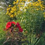 Hibiscus, Rudbeckia and Yucca July 2015