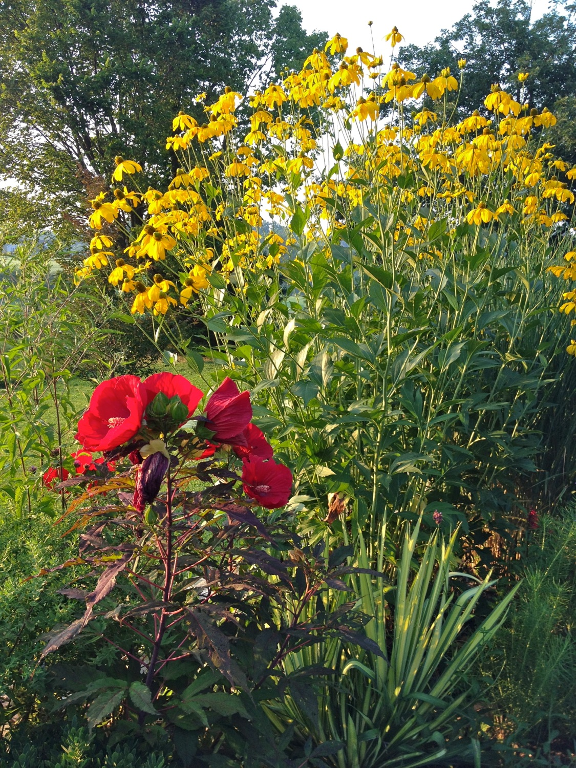 Hibiscus, Rudbeckia and Yucca July 2015