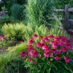 Echinacea and Calamintha